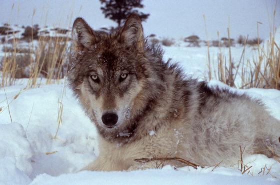 1200px-Yellowstone-wolf-17120-560x369